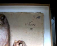 Forsskåls Fiskeherbarium. Scomber-falcatus