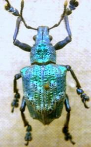 Bille fra insektsamlingen, Skt. Petersborg Zoologisk Museum