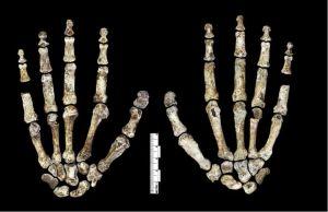 Homo naledi hånd. En næsten komplet hånd og fod gør naledi-fundet unikt og betydningsfuldt